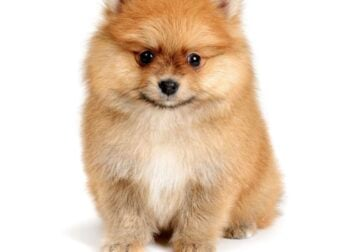 Looking for toy Pom or poodle puppy