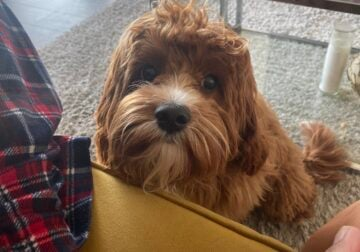 Darling 9 Month Old Cavapoo Puppy