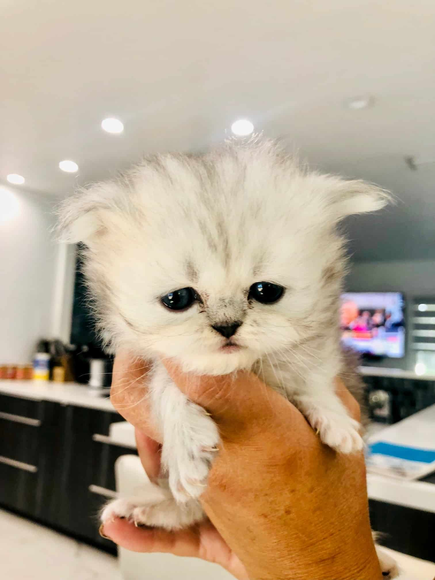 3 purebred Persian kittens from CFA parents
