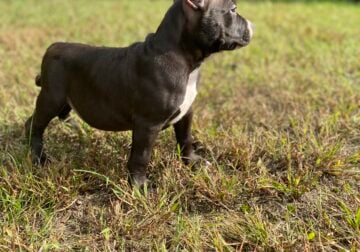 ABKC Registered American Bully Puppies!