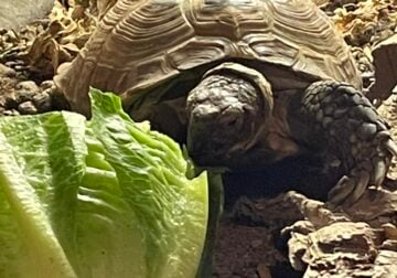 Russian Tortoise – approximately 10 years old