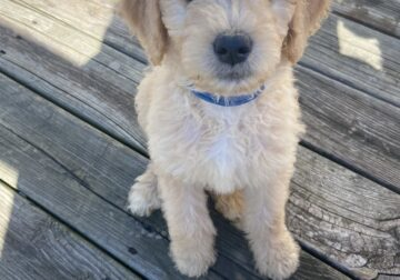 Goldendoodle Baby