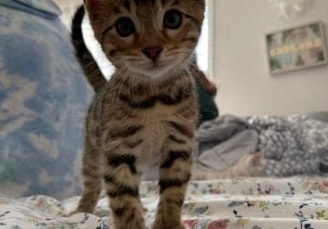 Baby Bengals Purebred in Indiana
