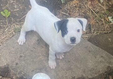 Pit pups for adoption