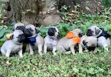 Adorable Pug Puppies available 10/30/21