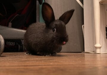 Bunny Needing New Home for Leasing Issues