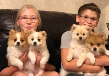 4 Pomeranian Puppies for sale