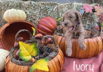 Goldendoodle Puppies – Red F2Bs