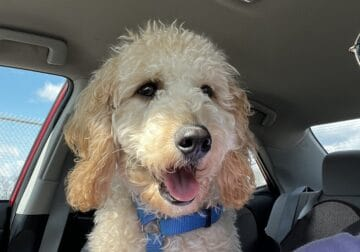 Handsome and Lovable Cavapoo!