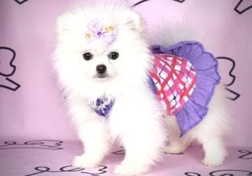 Teacup Pomeranian Puppies By Breeder