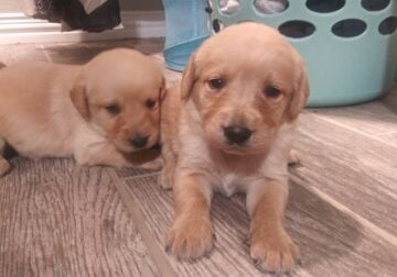 Lab and labradoodle mix puppies