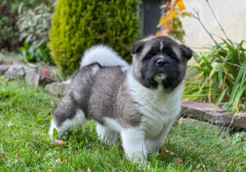 Akita Puppies for sale. Champion sired