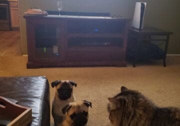 Looking to rehome 2 pugs