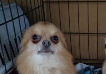 Teacup chihuahua for stud only