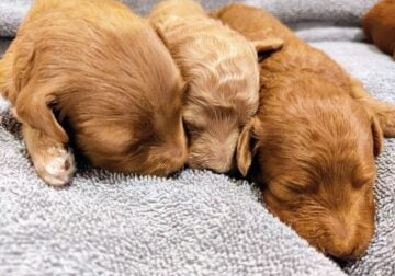 Adorable Micro Goldendoodle Puppies