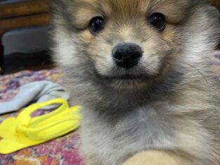 Beautiful and Handsome Male Pom, Sable with black